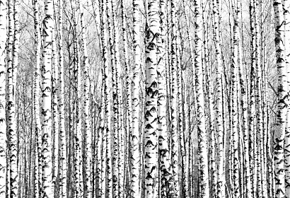 Fototapeta Birch trees Brezy ft-64287061